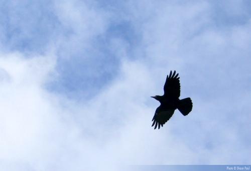 Temple Raven