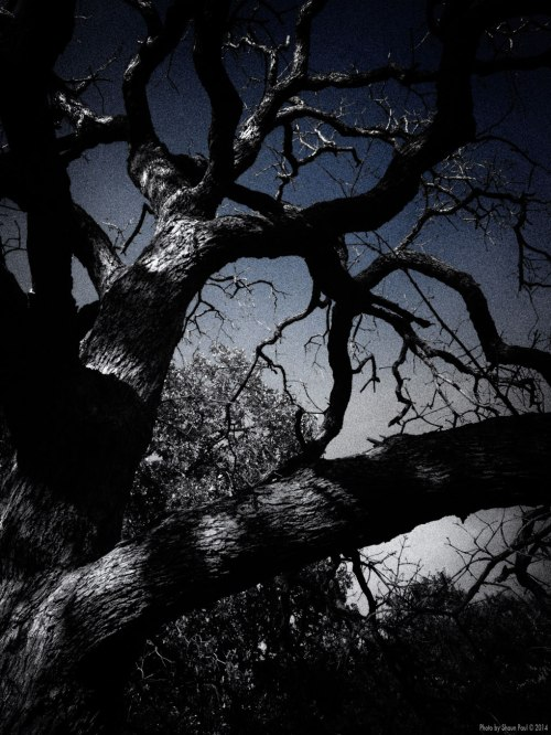 Barren Oak