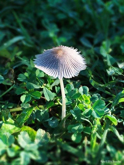 May Mushroom