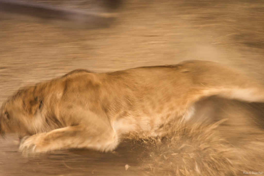 lion leaping into fight